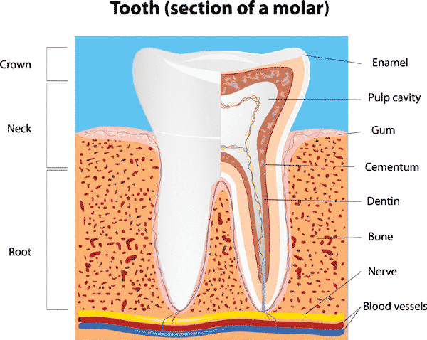 tooth-anatomy-small